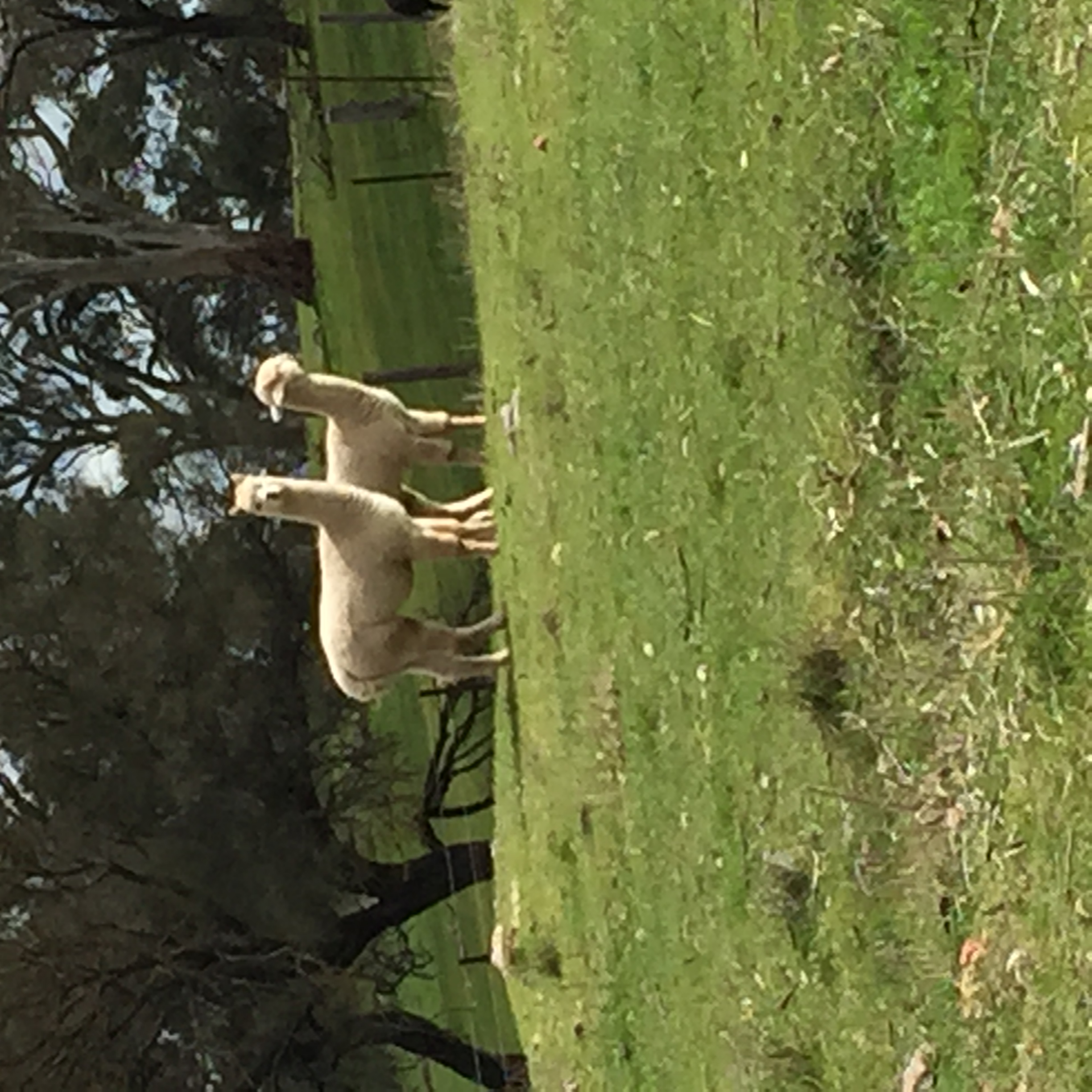 Kevin and Stanley the Alpacas