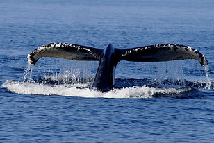 Humpbacktail.jpg