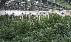 indoor-cannabis-grow