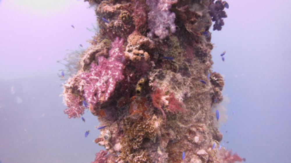 Coral growth on Shinkoku Maru