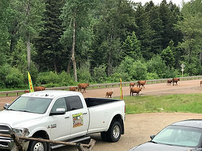 Livestock Journey down Hwy 1
