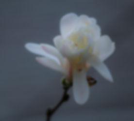 Star Magnolia Blossom.jpg
