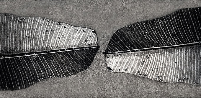Banana leaves, etching