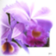 Catleya triana, pink orchid, nature's image