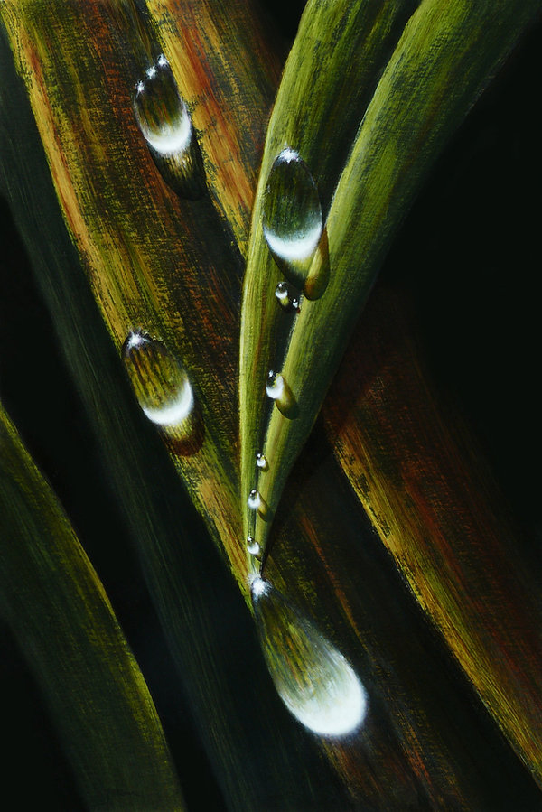 Dew drops, water droplets, dripping from leaves of grass