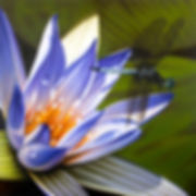 Dragonfly on a flower, blue waterlily