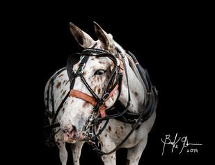 mule 2.jpg