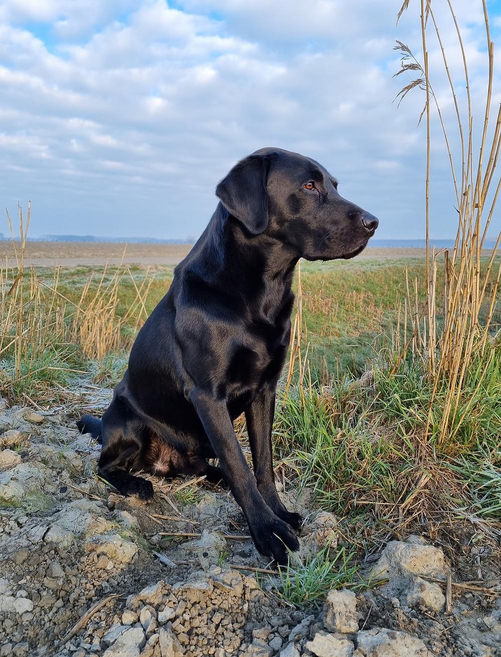 Labrador Retriever klaar voor het apporteren