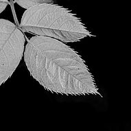 VishnuLohani_Rose Leaf