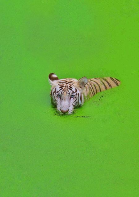 AgnikBhattacharya_I'm The Royal Bengal T