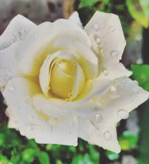 Shubham Roy _flower_7765001127 - SHUBHAM