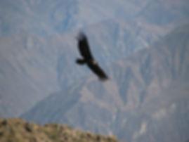 Condor soaring above the Colca Canyon Peru