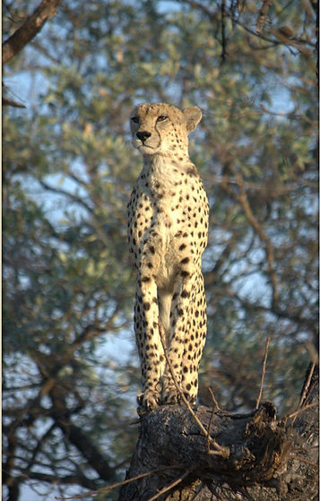 Cheetah in a tree - a very unusual sighting