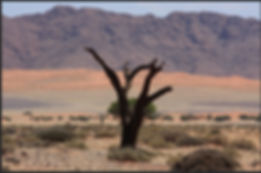 Dead tree with Namib desert background