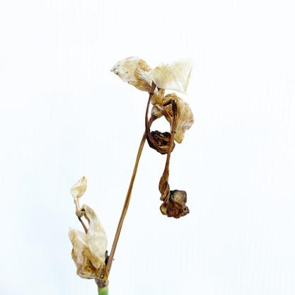 """""""dead lily"""" by Catalina Aranguren"""