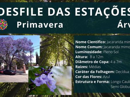 🤔 Conheça um pouco mais o Jacaranda Mimoso;