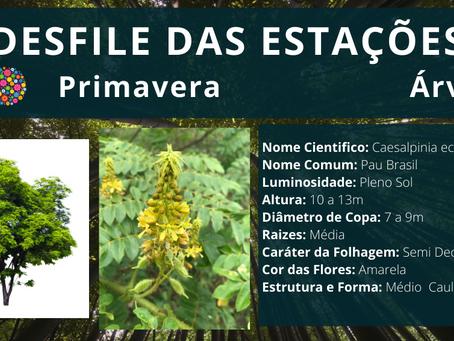 🤔 Conheça um pouco mais o Pau Brasil;