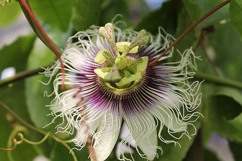 Passiflora edulis (Maracuja)
