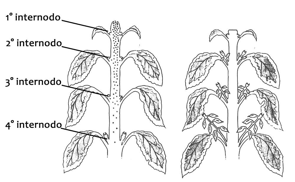 Internodi nella pianta di Coleus