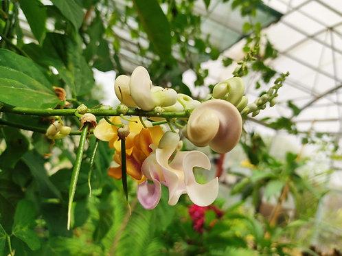 Cochliasanthus caracalla (ex. Vigna caracalla, syn. Phaseolus caracalla)
