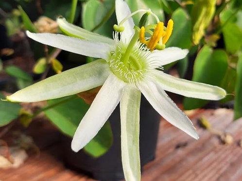 Passiflora mucronata