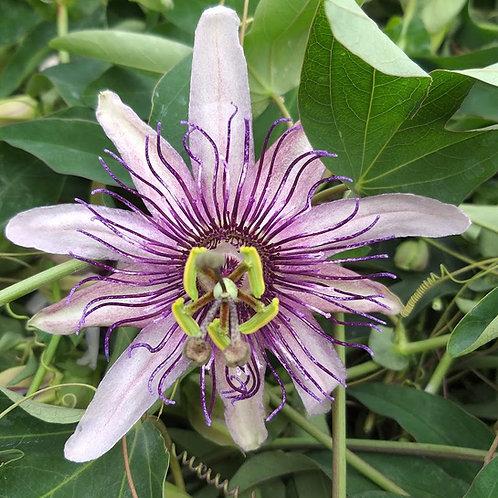 Passiflora 'Klara'