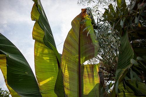Musa (Ensete) ventricosum 'Maurelii'