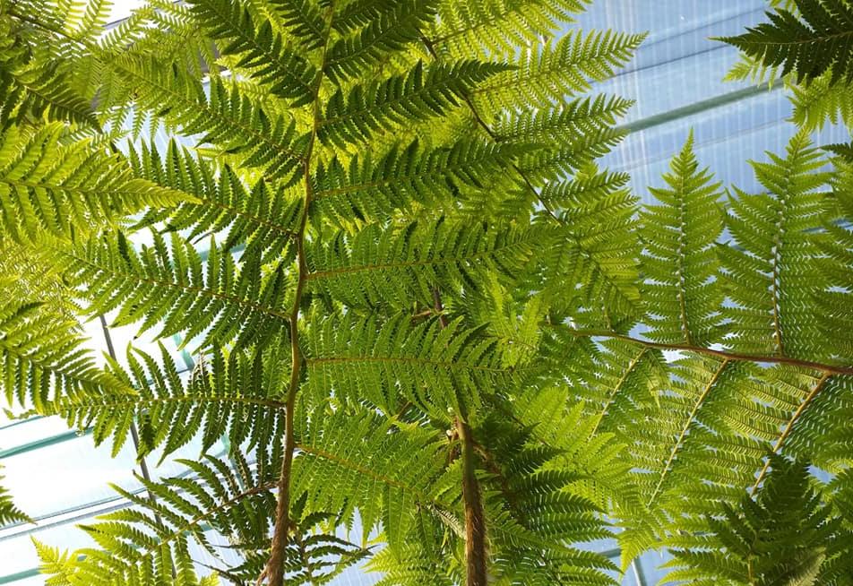 Felce arborea