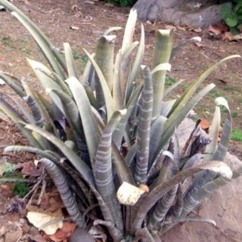 Billbergia brasiliensis