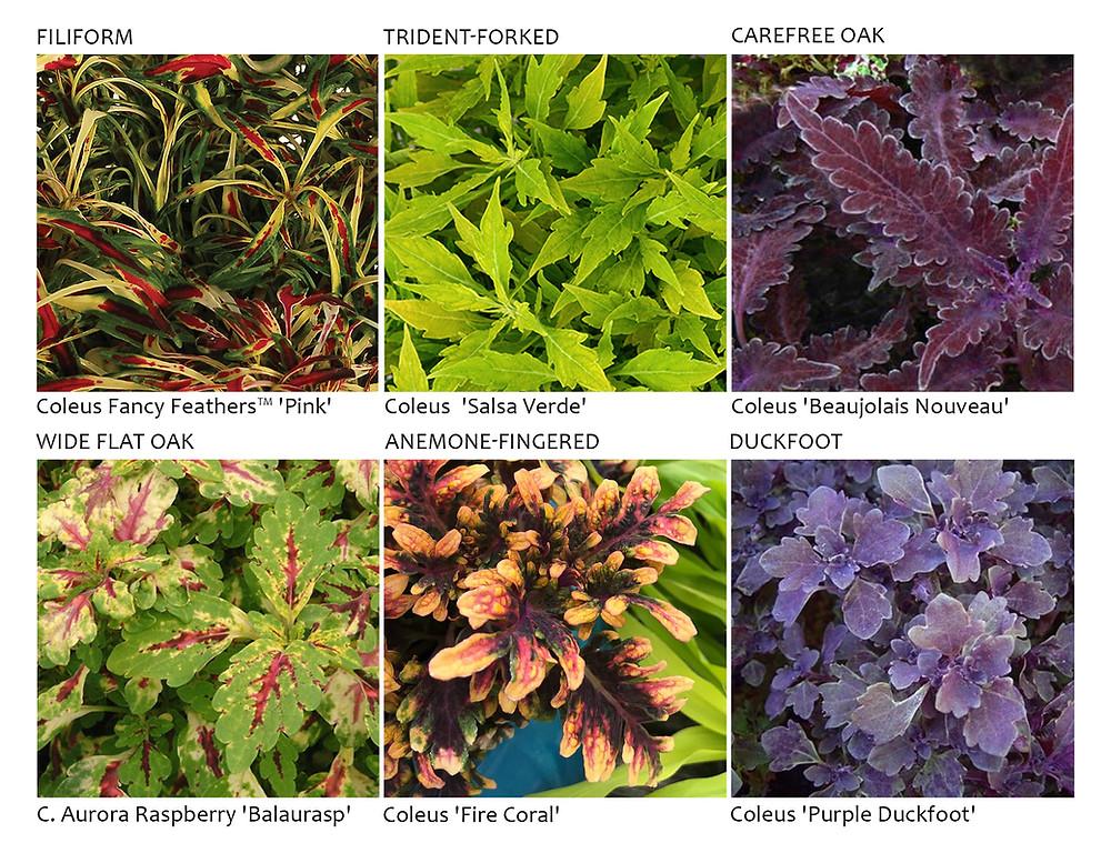 coleus groups, filiform, trident forked, carefree oak, wide flat oak, anemone fingered, duckfoot
