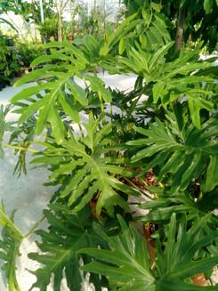 Philodendron selloum (Thaumatophyllum bipinnatifidum)