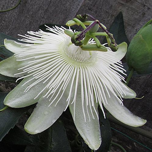 Passiflora 'Snow queen'