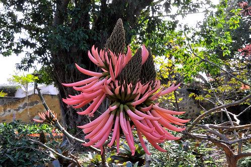 Erythrina speciosavar.rosea