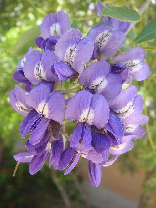 Dermatophyllum secundiflorum (Calia secundiflora; ex. Sophora secundiflora)