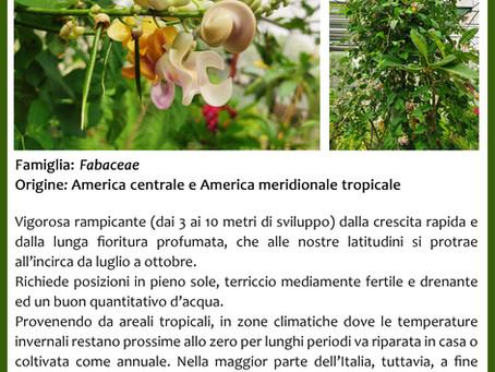 Cochliasanthus caracalla [ex. Vigna caracalla - Syn. Phaseolus caracalla]