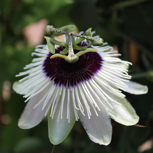 Passiflora 'Panda'