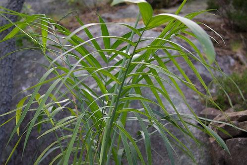 Chamaedorea radicalis - forma arborea