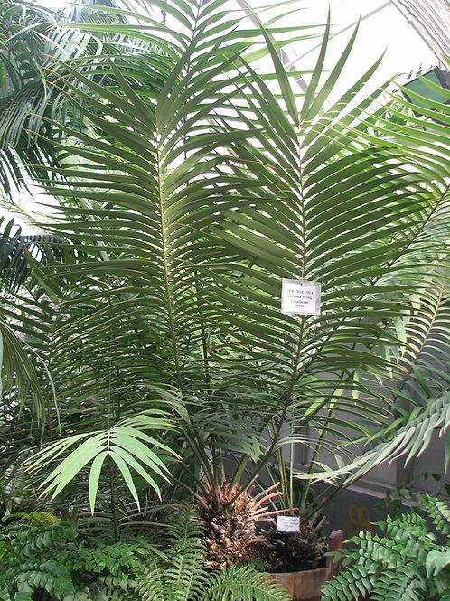 Ceratozamia hildae x mexicana