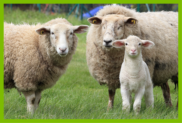 sheep-family-grouppng