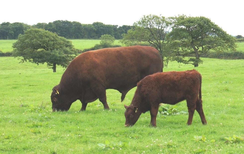 devon-bull-and-calf