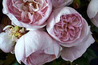 David Austin Roses 1