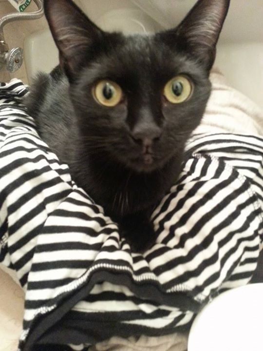 Skinny black cat perched on striped shirt