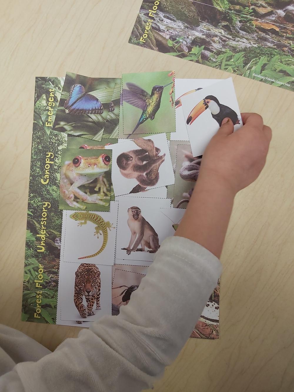 preschooler placing bird card on rainforest layers gameboard
