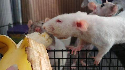 Know Your Rat | Mysite