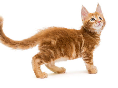 HOW CATS COMMUNICATE WITH THEIR TAILS