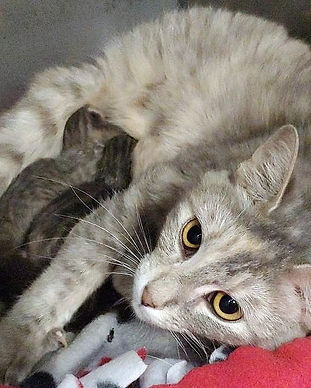 Cat_Gray and her babies_2019.jpg