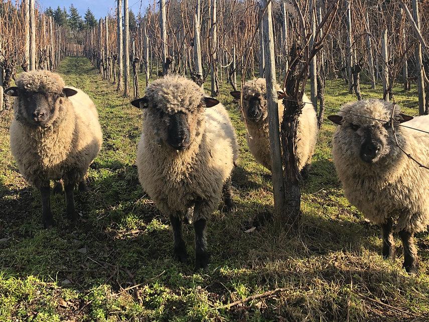 Schafe Frühling 2021.jpg