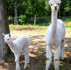 These are two of Butternut Alpacas  animals - Solstice (mom) and her baby cria Mee Mee.