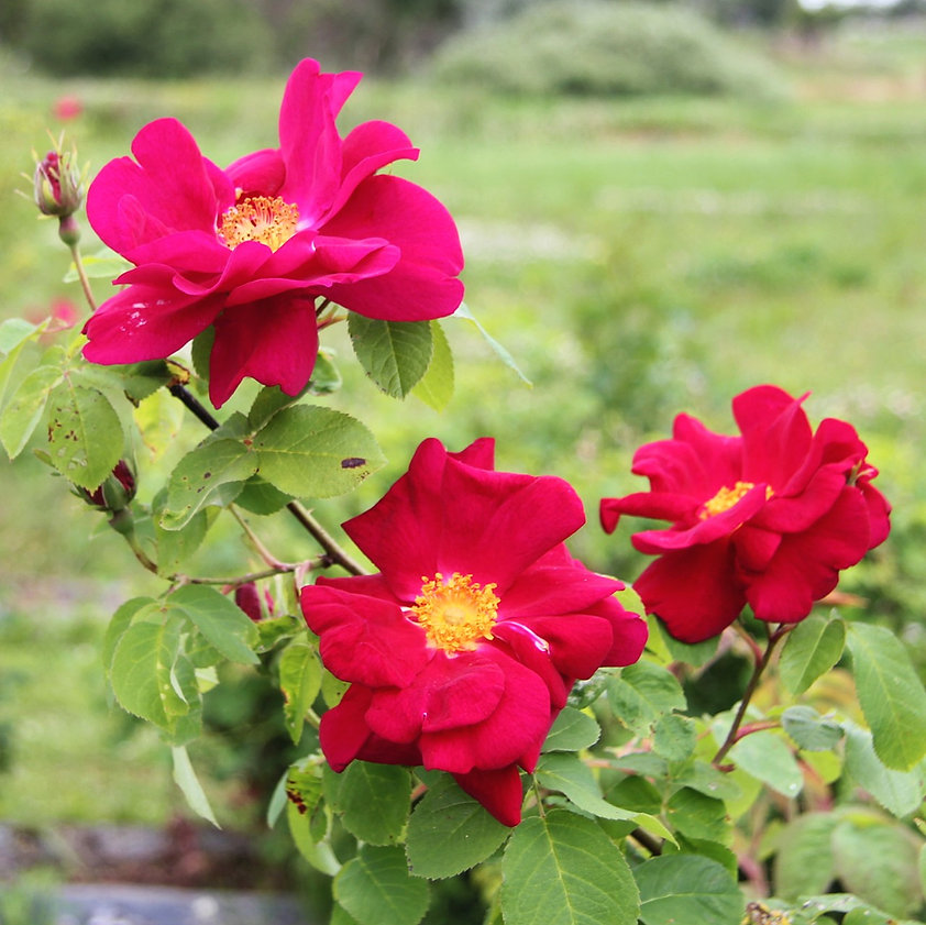 Rosa Gallica-r. 'James Mason' crped 1280
