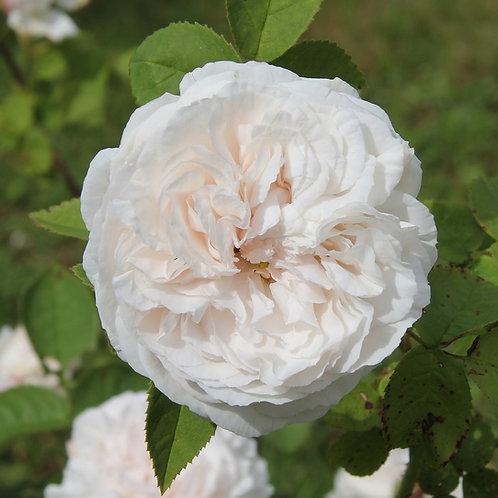 Rosa Damascena-group 'Mme Hardy'